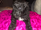 Labradoodle Puppy For Sale in KNOXVILLE, TN, USA