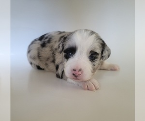 Miniature Australian Shepherd Puppy for sale in BONNE TERRE, MO, USA