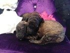 Phantom Party and Brindle Standard Poodle Puppies