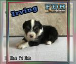Irving Mini Black Tri Male Aussie