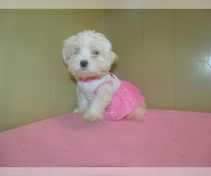 Maltese Puppy for Sale in PATERSON, New Jersey USA