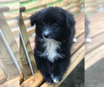 Small Photo #5 Labrador Retriever-Pomeranian Mix Puppy For Sale in SPENCER, TN, USA