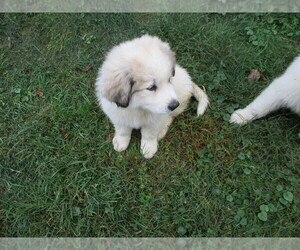 Great Pyrenees Puppy for sale in MINERVA, OH, USA