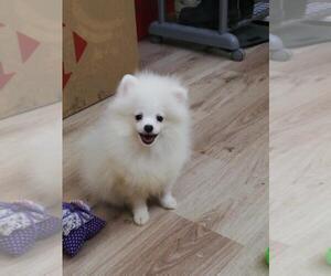 Pomeranian Puppies For Adoption In Houston Tx