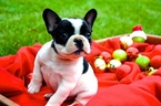 French Bulldog Puppy For Sale in LUFKIN, TX,
