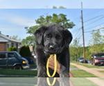 Puppy 3 Golden Shepherd