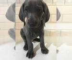 Puppy 9 Weimaraner