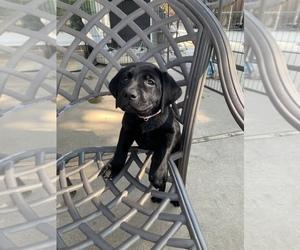 Labrador Retriever Puppy for sale in OAKLEY, CA, USA