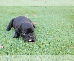 Bulldog Puppy for sale in DEERFIELD BEACH, FL, USA