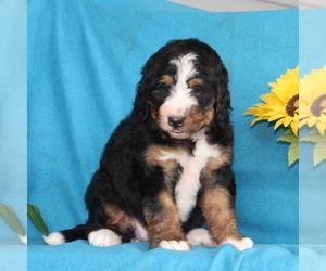 Bernedoodle Puppy for sale in PORT DEPOSIT, MD, USA