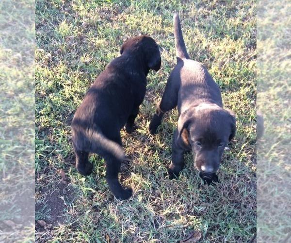 Medium Photo #4 Labrador Retriever Puppy For Sale in PARKER, KS, USA