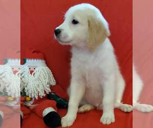 Goldendoodle Puppy for Sale in DERBY, Kansas USA