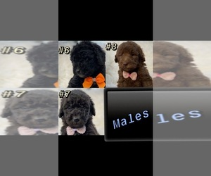 Poodle (Standard) Puppy for sale in PORTERVILLE, CA, USA