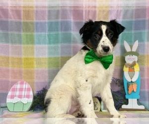 Australian Shepherd Puppy for sale in LANCASTER, PA, USA