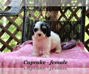 Poodle (Miniature)-Yorkie-Poo Mix Puppy for sale in CLARKRANGE, TN, USA