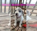Puppy 2 Great Pyredane