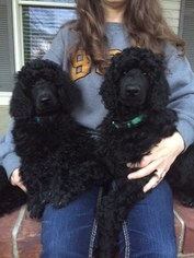 Poodle (Standard) Puppy For Sale in CLANTON, AL
