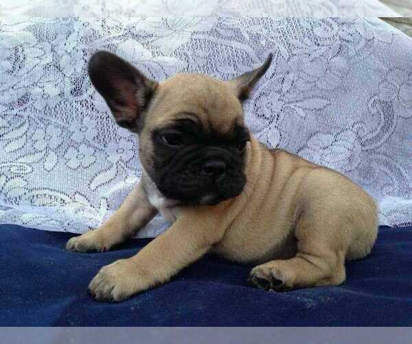 View Ad: French Bulldog Litter of Puppies for Sale near Greece