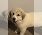Great Pyrenees Puppy For Sale in MOUNT PLEASANT, MI, USA