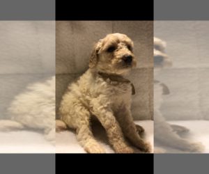 Poodle (Standard) Puppy for Sale in CONROE, Texas USA
