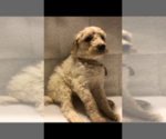 Poodle (Standard) Puppy For Sale in CONROE, TX, USA