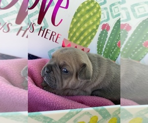 French Bulldog Puppy for sale in CROSWELL, MI, USA