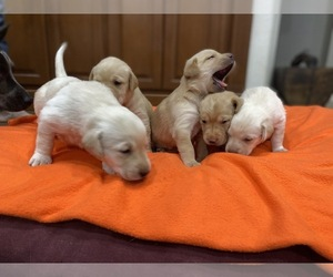 Labrador Retriever Puppy for Sale in ARTESIA, New Mexico USA
