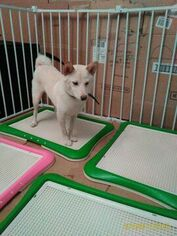 Shiba Inu Dog For Adoption in LOS ANGELES, CA, USA