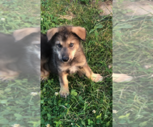 Siberian Husky-Wolf Hybrid Mix Puppy for sale in CHERRY HILL, NJ, USA