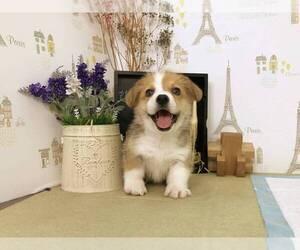 Pembroke Welsh Corgi Puppy for sale in IRVINE, CA, USA