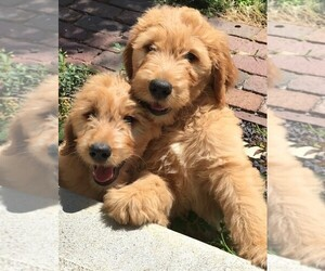 Goldendoodle Puppy for sale in MOUND CITY, MO, USA
