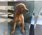 Puppy 4 Labrador Retriever-Unknown Mix