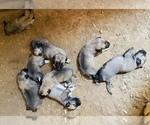 Small Kangal Dog