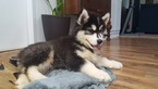 Siberian Husky Puppy For Sale in LOUISBURG, NC, USA