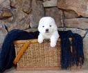 Puppy 3 Maremma Sheepdog