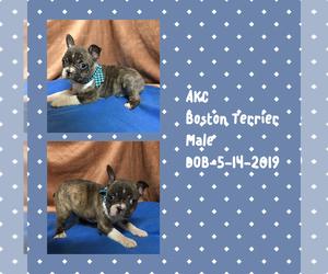 Boston Terrier Puppy for sale in CLARKSBURG, WV, USA