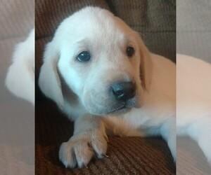Labrador Retriever Puppy for sale in COEUR D ALENE, ID, USA