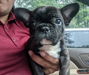 French Bulldog Puppy for Sale in SPENCER, Tennessee USA