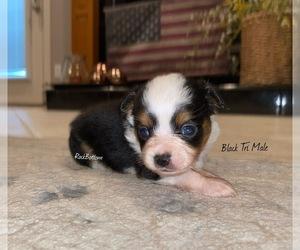 Australian Shepherd Puppy for sale in BATESVILLE, AR, USA