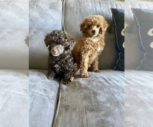 Poodle (Toy) Puppy for sale in HAYWARD, CA, USA