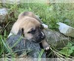 Puppy 5 Great Pyrenees-Siberian Husky Mix