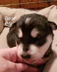 Alaskan Malamute Puppy For Sale in HARRISON, ME, USA