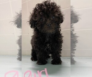 ShihPoo Puppy for sale in CLARE, IL, USA