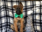 Malinois Puppy For Sale in CEDAR LANE, Pennsylvania,