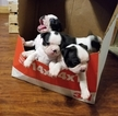 Boston Terrier Puppy For Sale in BENTONVILLE, AR, USA