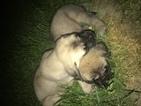 Mastiff Puppy For Sale in LINCOLN PARK, Michigan,
