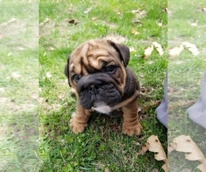 English Bulldog Puppy for sale in SALEM, MO, USA