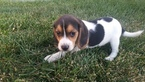 Beagle Puppy For Sale in BEAUMONT, CA, USA