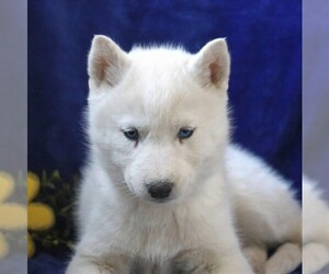Siberian Husky Puppy for sale in BIRD IN HAND, PA, USA