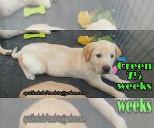 Labrador Retriever Puppy for sale in THIENSVILLE, WI, USA
